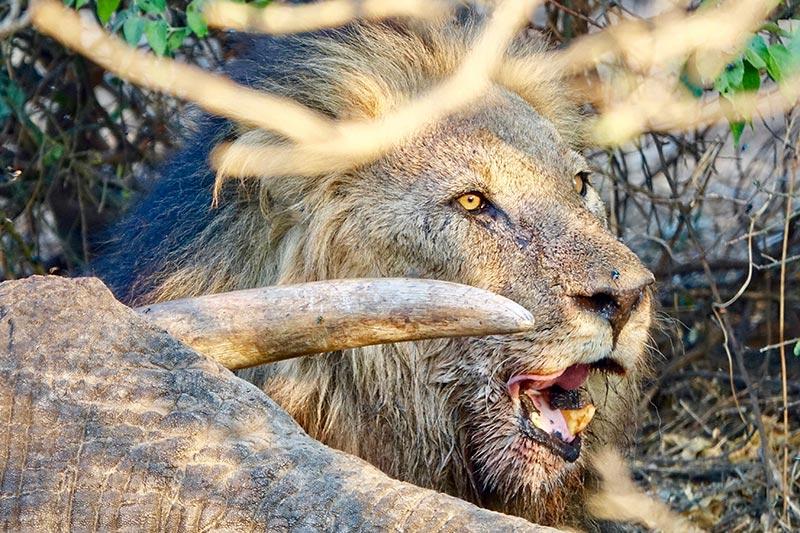 loewe-toter-elefant-botswana-zorillafilm-grospitz-westphalen