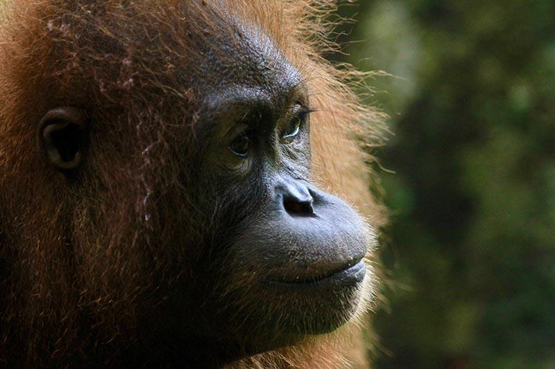 orang-utan-portrait-zorillafilm-grospitz-westphalen