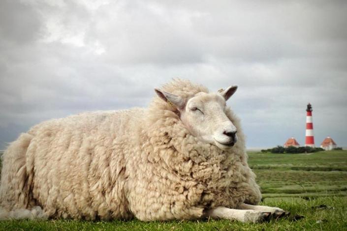 schaf-deich-westerhever-nordfriesland-zorillafilm-grospitz-westphalen