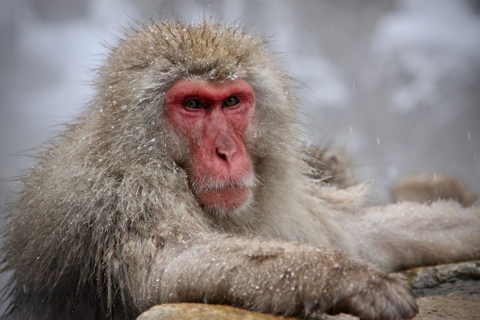Schneeaffe Männchen Japan Zorillafilm