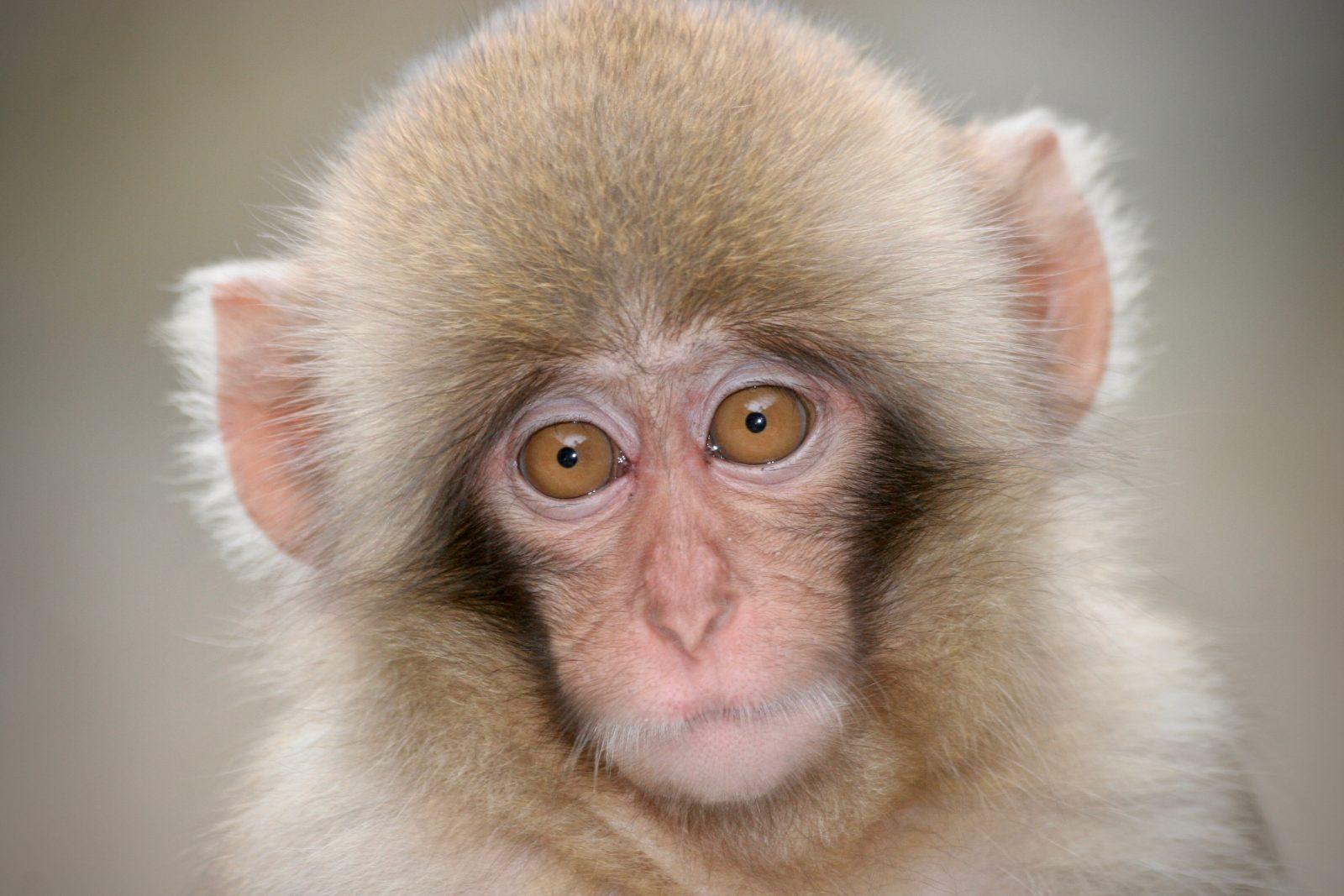 Japanese macaque Zorillafilm