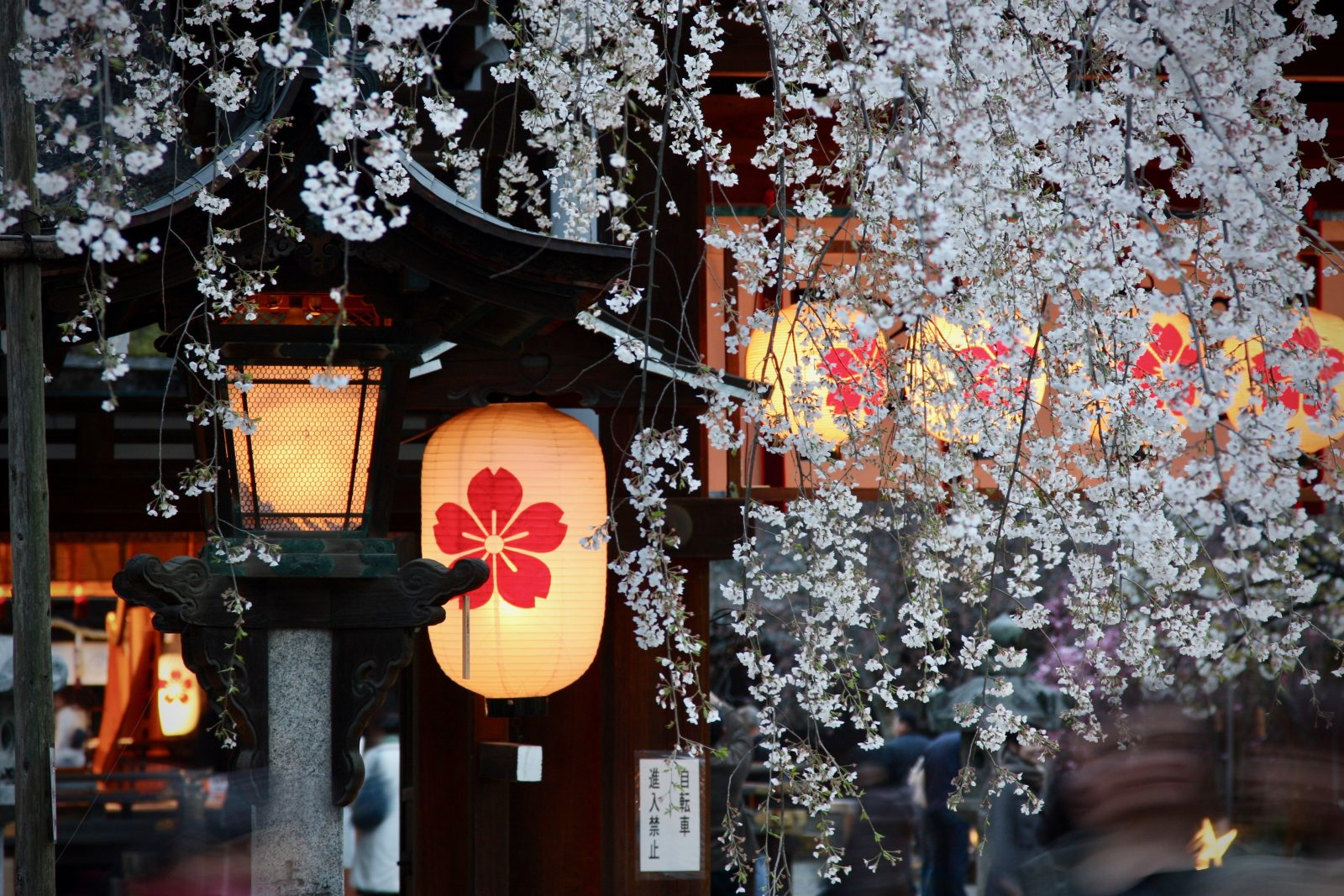 Kirschblüte Sakura Japan Zorillafilm