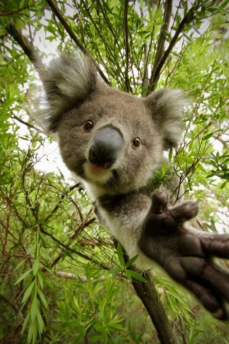 Koalababy