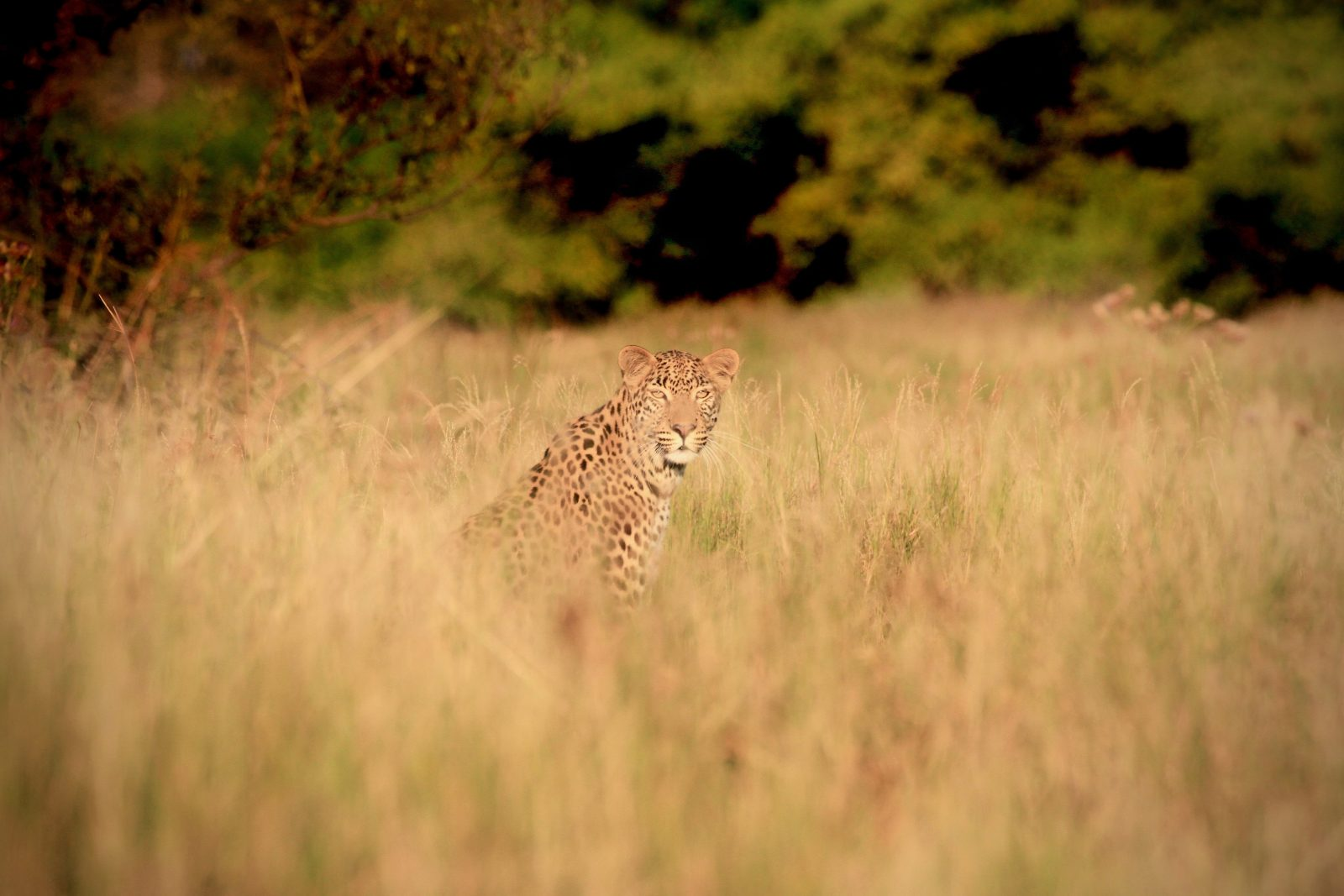 Leopard Botswana Zorillafilm