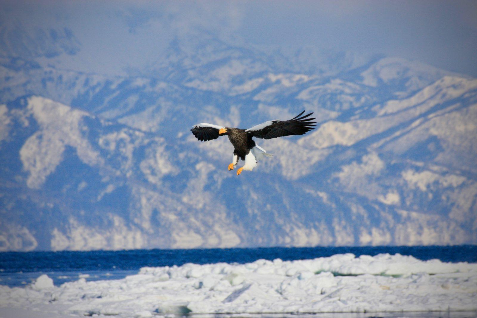 Riesenseeadler Hokkaido Winter Japan Zorillafilm