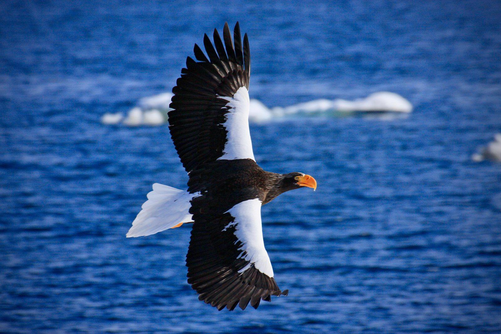 Riesenseeadler Japan Hokkaido