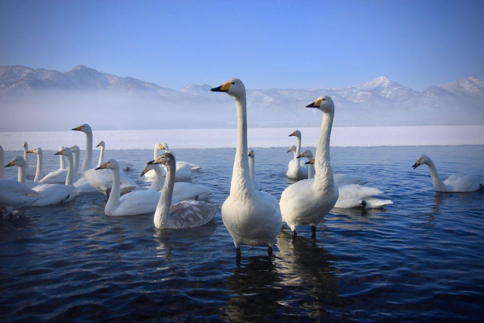 Singschwäne Hokkaido Japan Zorillafilm